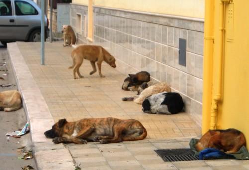 icolo cani randagi