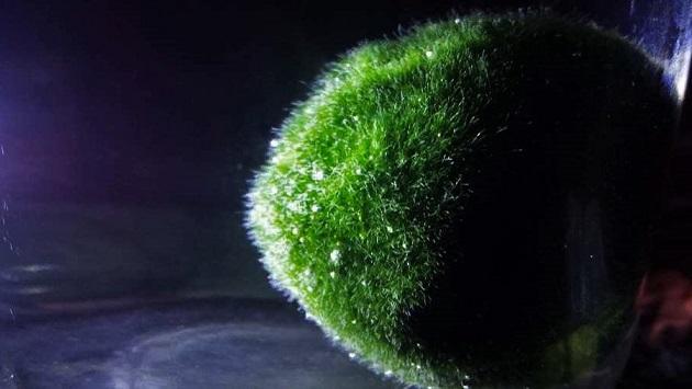 Marimo - Algapalla - Moss Ball