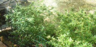 piantagione canapa