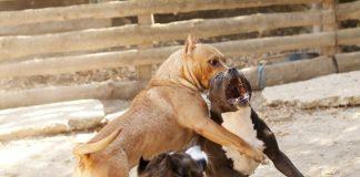 zoomafie lav cani combattimenti