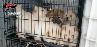 cuccioli di cane carabinieri