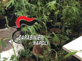 torre del greco marijuana